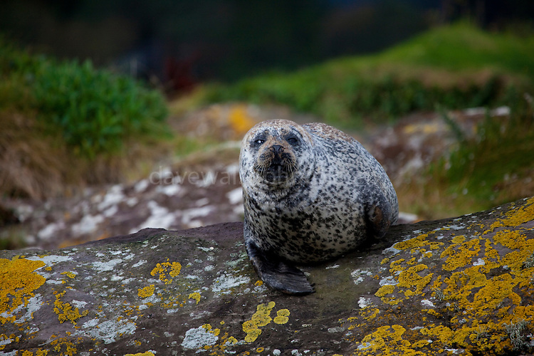 """Common seal, Phoca vitulina, near Garinish Island, Glengarrif, Co. Cork, Ireland. There's about 30,000 common seals in Irish waters, and these examples were pretty relaxed with the regular visits of the Garinish """"Blue Pool Ferry""""."""
