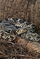 467004015 a captive eastern diamondback rattlesnake crotalus adamanteus llies coiled with its tongue sensing the environment - species is native to the southeastern united states