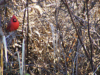 Cardinal in tall grass