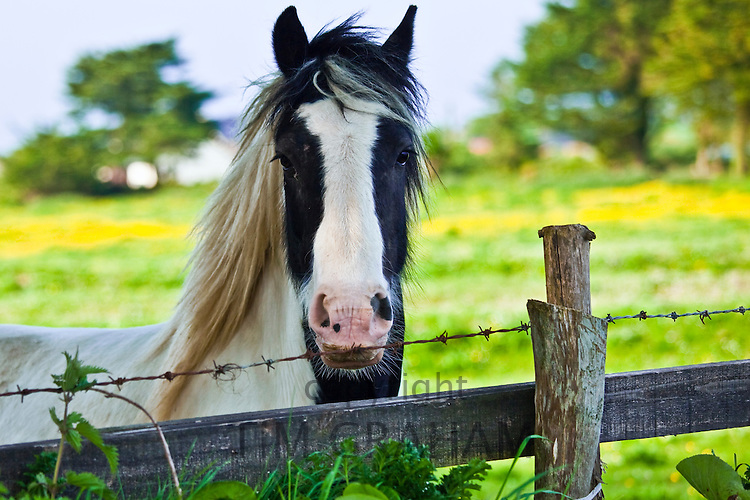 Traditional Irish piebald paint horse in buttercup meadow near Kilmore, Ireland