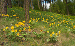 Arrow-leaved Balsamroot growing wild on the hillside in North Idaho