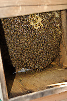 The inside of a hive at the farm of beekeeper Masahiro Tominaga, Inadani, Nagano Pref, Japan, September 24, 2011. Inadani is home to Japanese honey-bee farms. The bees feed off red-soba flowers and the exceptionally high-quality honey they produce is sold at a premium.