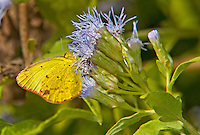 399800001 a wild little yellow butterfly eurema lisa at  the naba site in mission hidalgo county lower rio grande valley texas united states