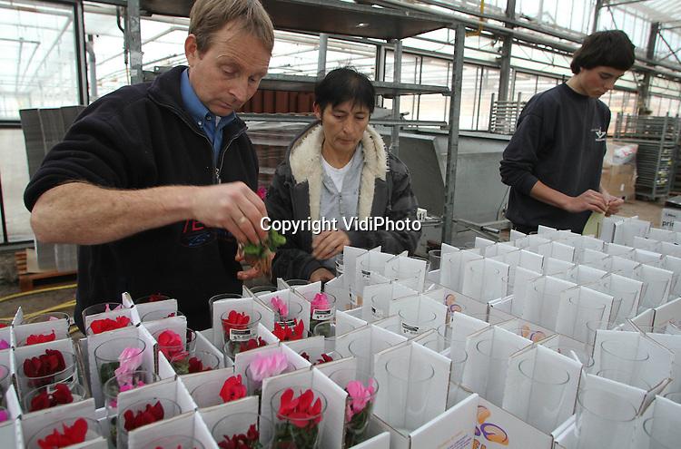 Foto: VidiPhoto..BEMMEL - De micro-cyclaam in een vaasje is dit jaar een noviteit en een vondst van kwekerij Bejafleur in Bemmen. Het 'gevulde vaasje' is door bloemenexporteurs met groot enthousiasme ontvangen en vindt zijn weg door heel Europa. De populairiteit loopt zelfs wat uit de hand, vindt eigenaar Bart Beijer. Bejafleur zet inmiddels zo'n 30.000 stuks van dit product om op jaarbasis. De cyclaam-in-glas is bij Bejfleur alleen op bestelling verkrijgbaar. .
