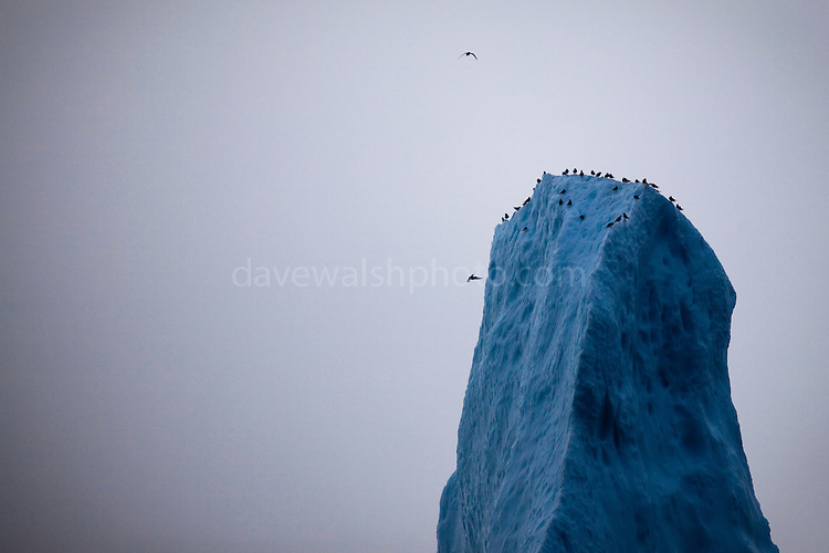 Birds on the peak of an iceberg, Baffin Bay, off West Greenland. Limited edition C-Type Prints available - contact me for more details.