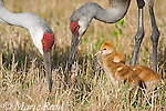 Sandhill Crane (Grus canadensis), Florida race, close-up of adults with 2 chicks, Orlando, Florida, USA