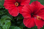 Tropical Hibiscus flowers