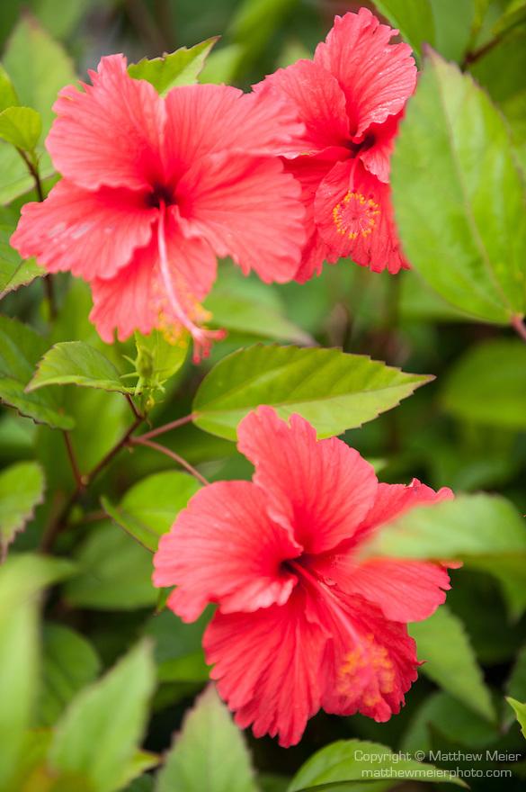 Rakiraki, Viti Levu, Fiji; red Hybiscus flowers