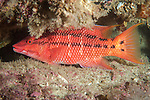 Sea of Cortez, Baja California, Mexico; a Mexican Hogfish (Bodianus diplotaenia) hiding amongst the rocky reef at night