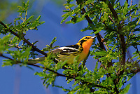 591450002 a wild male blackburnian warbler dendroica fusca on south padre island texas united states