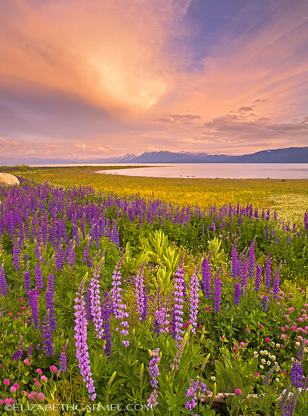 Wildflower Sunset, Lake Tahoe