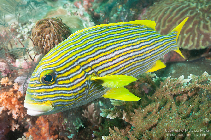Triton Bay, West Papua, Indonesia; a Ribbon Sweetlips fish hovering over the coral reef