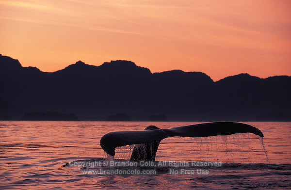 KM2135. Humpback Whale (Megaptera novaeangliae) tail flukes at sunset. Alaska, USA, Pacific Ocean..Photo Copyright © Brandon Cole.  All rights reserved worldwide.  www.brandoncole.com..This photo is NOT free. It is NOT in the public domain. This photo is a Copyrighted Work, registered with the US Copyright Office. .Rights to reproduction of photograph granted only upon payment in full of agreed upon licensing fee. Any use of this photo prior to such payment is an infringement of copyright and punishable by fines up to  $150,000 USD...Brandon Cole.MARINE PHOTOGRAPHY.http://www.brandoncole.com.email: brandoncole@msn.com.4917 N. Boeing Rd..Spokane Valley, WA  99206  USA.tel: 509-535-3489.