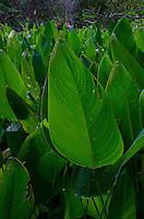 Swamp Lettuce (Pistia stratiotes), Corkscrew Swamp Sanctuary, Naples, Florida, US