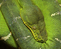 This beautiful snake has brilliant leaf green coloration with white markings along its whole body. These white markings against the green body closely emulates the patterns of sun splotches that penetrate the thick rain forest canopy.