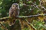 Barred Owl, Olympic National Park, Washington, USA