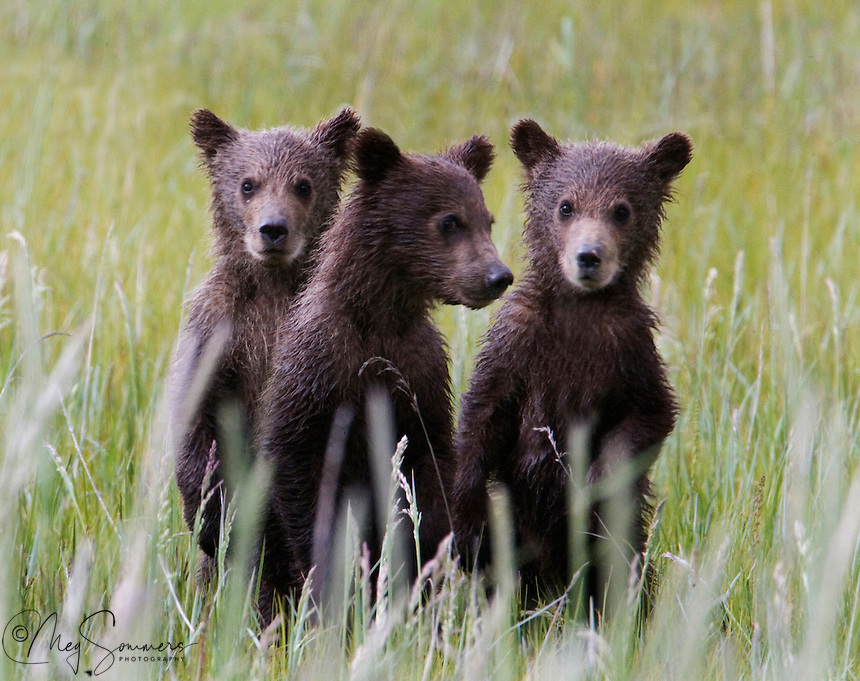 These Alaskan brown bear (Ursus arctos middendorffi) triplet cubs stood up to have their picture taken! Not really, but they did stand to get a better look at that stranger with a long lens. Not to worry, mom was right there too. (See &quot;Amigos&quot; in this gallery)<br />