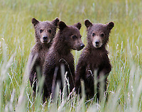 These Alaskan brown bear (Ursus arctos middendorffi) triplet cubs stood up to have their picture taken! Not really, but they did stand to get a better look at that stranger with a long lens. Not to worry, mom was right there too. (See &quot;Amigos&quot; in this gallery)<br /> Halo Bay, Katmai National Park.