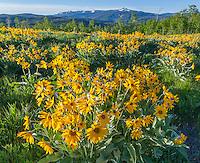 Bridger-Teton National Forest, WY: A field of balsamroot (Balsamorhiza sagittatta) overlooking the Gros Ventre Mountain Range