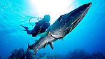 Diver and Great Barracuda, Little Cayman Island