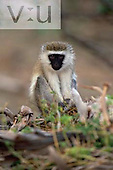 A baby Black-Faced Vervet or Green Monkey. ,Cercopithecus aethiops, Lake Nakuru National Park, Kenya