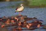 Egyptian goose stands on a Hippopotamus, Tarangire National Park, Tanzania