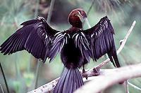 WETLAND BIRDS<br /> Anhinga Wings Spread To Dry Plumage