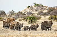 Herd of African elephants walking single file through grassland savannah as they follow a matriarch along old paths to the next water hole, Kenya, Africa (photo by Wildlife Photographer Matt Considine)