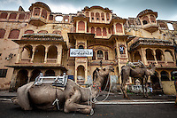 Camels wait to enter the Teej festival parade in Jaipur, Rajasthan, India.