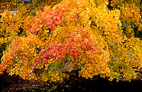FALL FOLIAGE<br /> East coast<br /> In the autumn, trees stop photosynthesis. As the green chlorophyll disappears from the leaves, yellow, orange and red become visible.