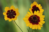 The Plains Coreopsis Wildflower is one of North America's best-loved annuals.