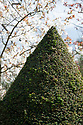 Yew topiary and cherry blossom in The Orchard at Hinton Ampner, Hampshire, late April.