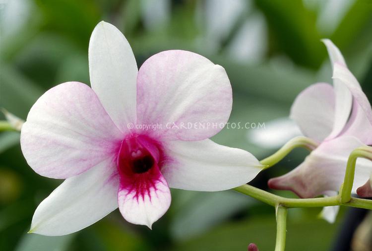 Dendrobium Baby Pink = bigibbum compactum x affine orchid primary hybrid 1984, Dendrobium phalaenopsis type