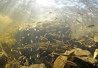 School of Ninespine Stickleback<br /> <br /> Paul Vecsei/Engbretson Underwater Photography