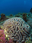 Kenting, Taiwan -- Brain coral head