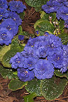 Vivid blue flowers of double flowered perennial Primula 'Belarina Cobalt Blue'
