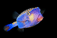 Spotted Boxfish male, Ostracion meleagris, off Kona Coast, Big Island, Hawaii, Pacific Ocean.