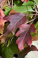 Hydrangea quercifolia in autumn color | Oakleaf Hydrangea showing several red purple leaves with green leaves behind