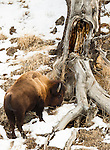 A bison bull grazes the dry grass in Yellowstone National Park in Wyoming, USA, on Feb 6Th 2015. Photo by Gus Curtis.