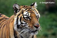 MA40-006z  Bengal Tiger - Panthera tigris