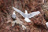 Black-legged kittiwake (Rissa tridactyla) Building nest site. Nest repairs and rebuilds are the next to follow. Whilst one bird is out looking for nesting materials the other waits to recieve and build the nest with the materials brought back.