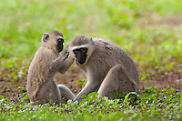 Vervet or Green Monkeys grooming (Cercopithecus aethiops), South Africa.