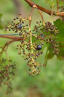 Stems left on the vine after mechanical harvest. Chateau de Haux, Bordeaux, France