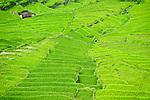 Rice fields between Ruten and Bajawa.