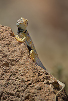 414390011 a wild great basin or desert collared lizard crotaphytus insularis bicinctores perches on a rock along chalk bluff road north of bishop inyo county california united states