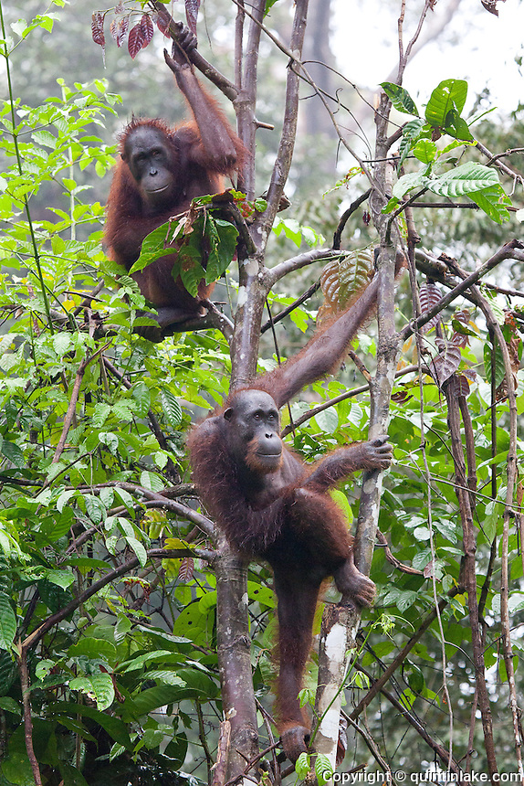 Two mature female Orangutans, Pongo pygmaeus morio, picking and eating a flea at the Orang Utan Sanctuary Sepilok, Sabah, Borneo