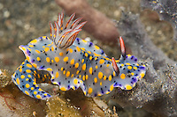 A flamboyantly colored nudibranch, Hypselodoris kanga, feeds on a sponge. Lembeh Strait, North Sulawesi, Indonesia