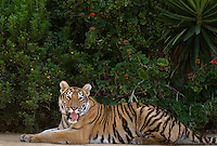 684080057 a juvenile wildlife rescue siberian tiger panthera tigris altaicia rests along a tree lined walk near his enclosure at a wildlife rescue facility - species is highly endangered in the wild - mungar