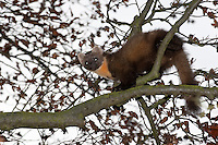 Baummarder klettert im Baum, Baum-Marder, Edelmarder, Edel-Marder, Marder, Martes martes, European pine marten
