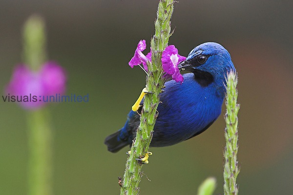 Shining Honeycreeper, Costa Rica